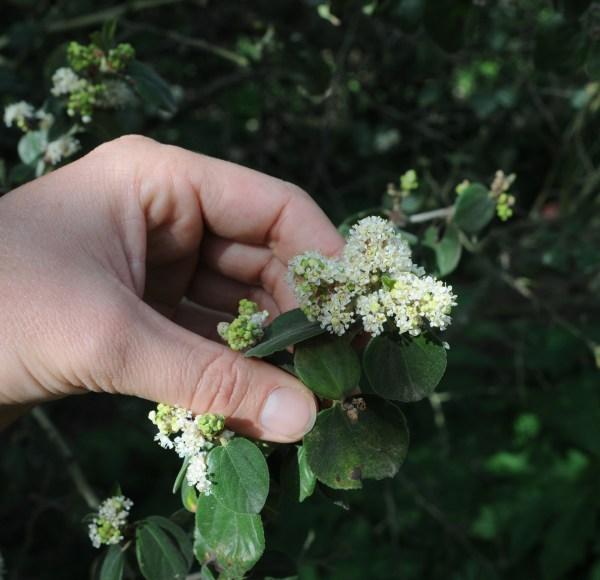 Ceanothus incanus, flower