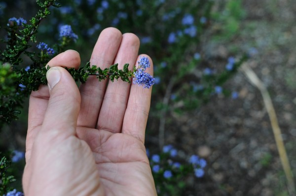 Ceanothus deantatus, leaf and flower