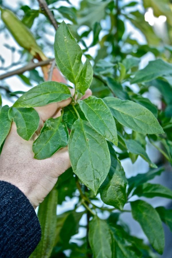 Brugmansia vulcanicola leaf