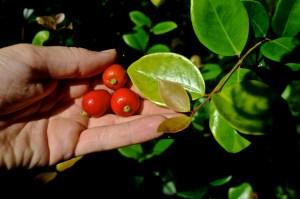 Eugenia reinwardtiana fruit leaf