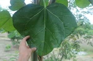 Jatropha chamelensis leaf