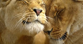 LionMarriage