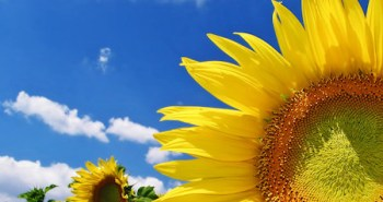 162543-sunflower