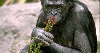 bonobo_img01-l