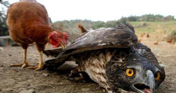 eagle-chicken_1124027i