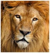 Το λιοντάρι σκοτώνει κοιτάζοντας