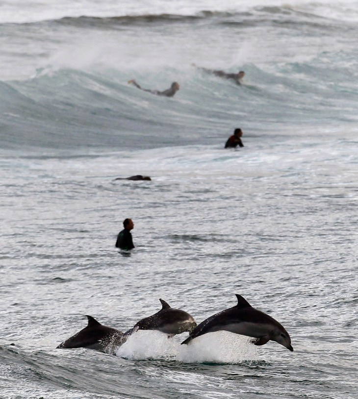 Surfers περιμένουν τα κύματα, όπως και τα δελφίνια άλμα στα νερά της Bondi Beach στο Σίδνεϊ