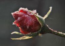 Πάγος σε λουλούδια