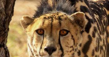 Ο Βασιλιάς της ταχύτητας. Ο γατόπαρδος (Acinonyx jubatus), ή αλλιώς τσίτα, ή τσιτάχ, είναι το γρηγορότερο χερσαίο ζώο στον πλανήτη μας.