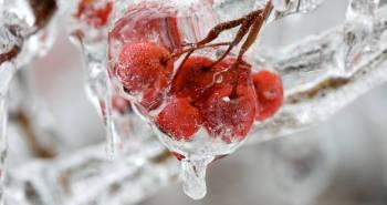plants frozen in ice storm 30