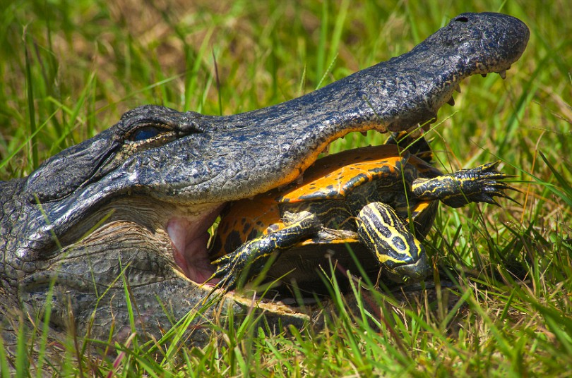 Αλιγάτορας προσπαθεί να σπάσει το καβούκι της χελώνας.