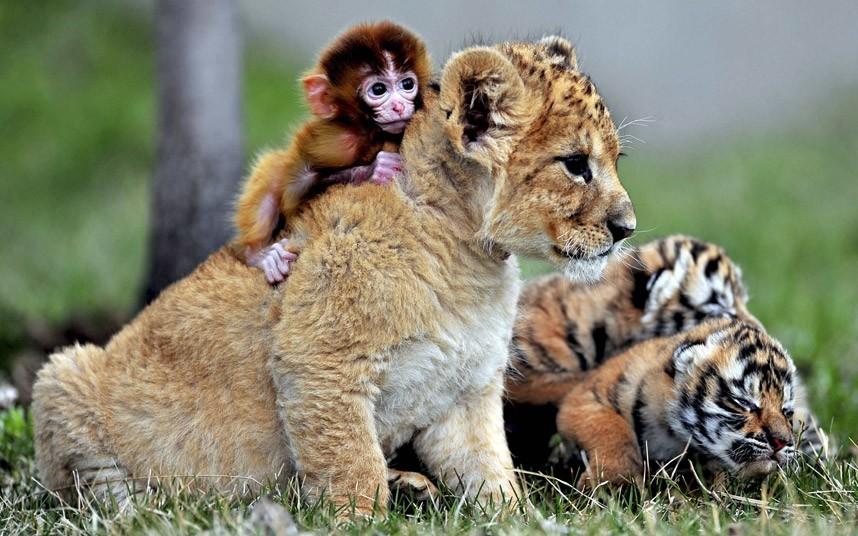 Πιθηκάκι, λιονταράκι και τιγράκια, παίζουν στο  Guaipo Manchurian Tiger Park στην Κίνα.