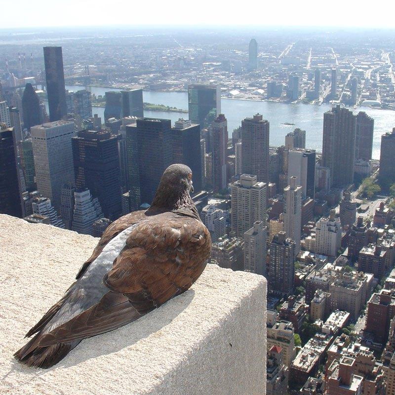 Ένα περιστέρι στην κορυφή του Empire State Building, με θέα την Νέα Υόρκη