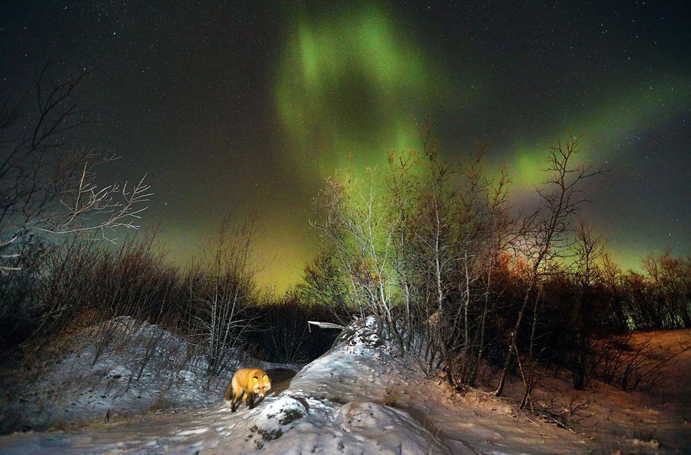 Κόκκινη αλεπού και βόρειο σέλας  Αλάσκα.  Greg Lincoln