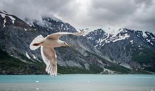 seagull-glacier-bay