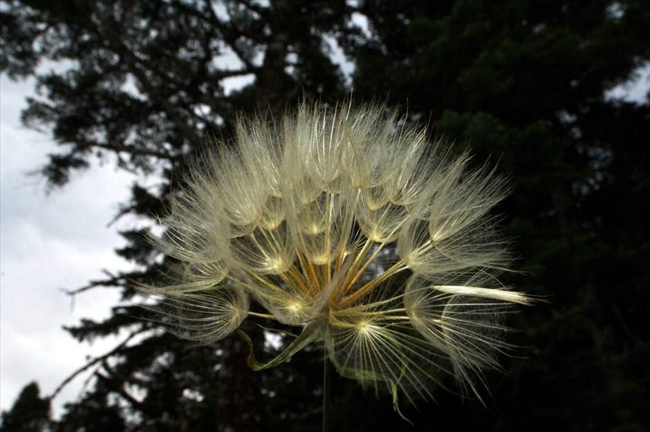 Λουλούδι «κλέφτης» στον Προφήτη Ηλία της κοινότητας της Νεράιδας, στη λίμνη Πλαστήρα Καρδίτσας.