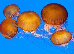 Οι θαλάσσιες ανεμώνες  και οι μέδουσες : απεικόνιση με ακτινωτή συμμετρία.