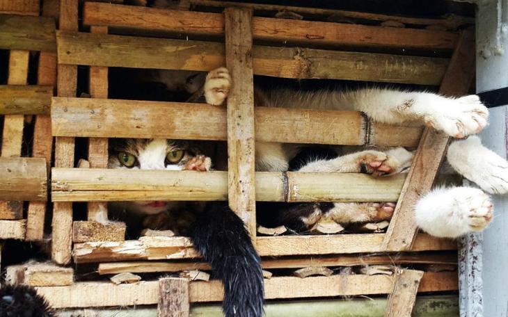 «Προς κατανάλωση». Ένα τεράστιο φορτηγό με ξύλινα κλουβιά που μέσα τους ήταν στοιβαγμένα εκατοντάδες γατιά εντοπίσαν οι τελωνειακοί στο Ανόι. Το φορτίο προήλθε παράνομα από την Κίνα στην χώρα και το ζωντανό εμπόρευμά του προοριζόταν για κατανάλωση. AFP PHOTO