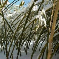 Bambus ao vento
