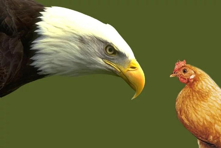 uma águia ou uma galinha: qual deles é você?