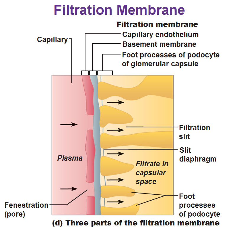 filtration-membrane-including-capillary-endothelium-basement - lost poster template