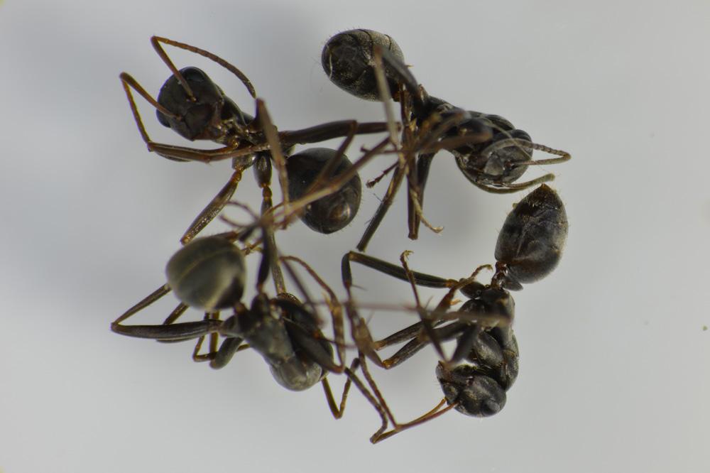 クロオオアリの画像 p1_23