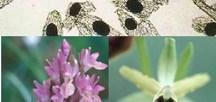 Pollen viability in Mediterranean orchids