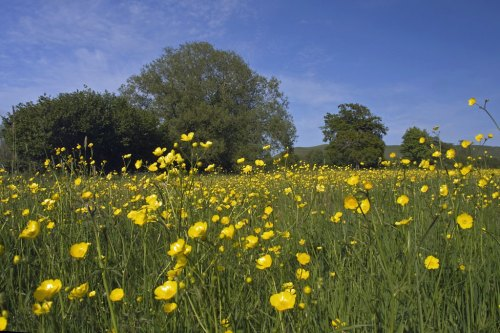 Buttercups. Photo (cc) Marilyn Peddle.