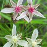 Floral polymorphism and environmental heterogeneity