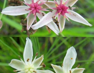 Floral polymorphism and environmental heterogeneity