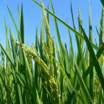 Chromosome region for high hydraulic conductance in rice