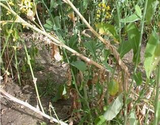 Infection processes of Sclerotinia sclerotiorum in Brassica napus