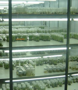 Banana germplasm maintained in sterile tissue culture