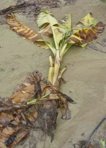 Gros Michel banana killed by Panama disease