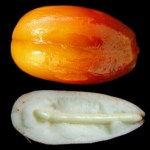 Growth regulators and germination of recalcitrant seeds