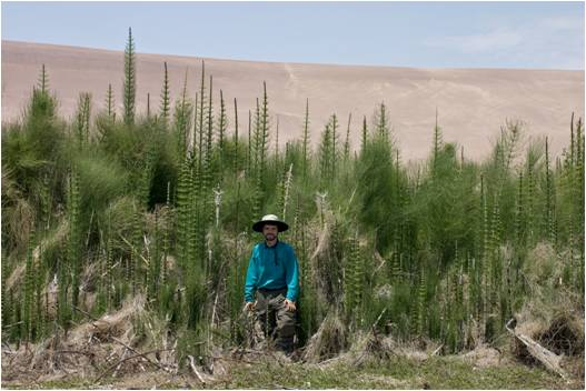 Free—open access paper: Salinity tolerance ecophysiology of Equisetum giganteum in South America