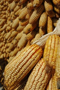 Maize (Corn) ears in China. Photo: Eloise Phipps, CIMMYT