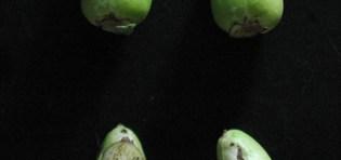 Acidic alpha-galactosidase in tobacco floral nectar