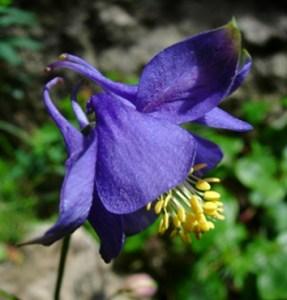 Gene flow, drift and populations of Sardinian Aquilegia