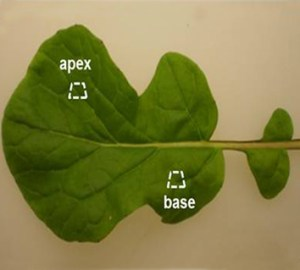 Ca and Mg distribution in <i>Brassica rapa</i> leaves