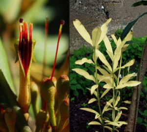 Mistletoes and mutant albino shoots as nutrient traps