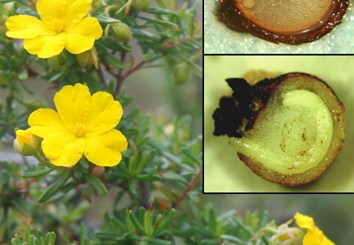 Variable seed dormancy and germination in Hibbertia