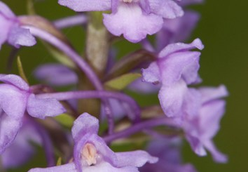 Minority cytotypes in fragrant orchids
