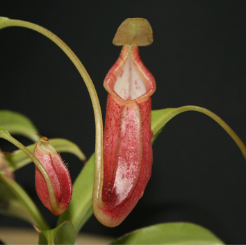 Nepenthes pitfall traps are an anti-microbial environment