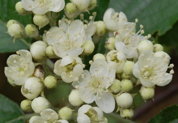 Evolution and speciation in Sorbus
