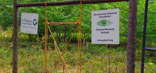 American Chestnut research