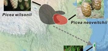 Speciation pattern and gene flow between three spruce species