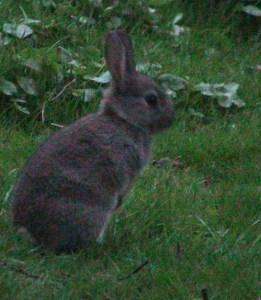 A wild rabbit on guard, using lots of energy and sensory perception. These genes are selected in domesticated rabbits.
