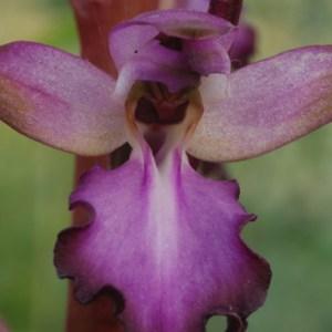 Molecular phylogenetics of the orchid <i>Himantoglossum</i>