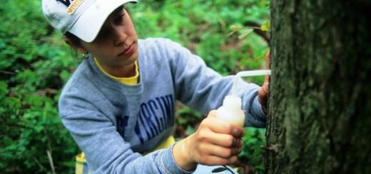 Inoculating a chestnut with a slurry of hypovirus.